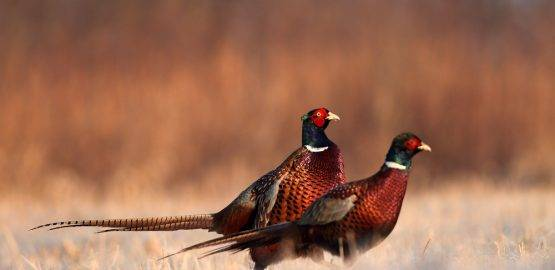 Pheasant and Game produce